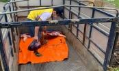 Vĩnh Phúc: Bắt vụ vận chuyển lợn chết từ Lập Thạch đưa về TP Vĩnh Yên tiêu thụ