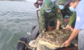 Thả cá thể rùa quý hiếm nặng hơn 80kg về môi trường tự nhiên