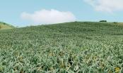 Trái dứa Lục Nam sẽ chín vàng khắp triền đồi nếu không được hỗ trợ tiêu thụ