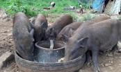 Chính phủ yêu cầu bãi bỏ quy định lợn không được ăn cây chuối