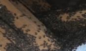 """Phú Yên: Bọ đậu đen lúc nhúc """"đổ bộ"""" đảo lộn cuộc sống dân"""