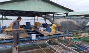 Cá bè trên sông Tiền chết bất thường, bán 20 nghìn đồng/xô