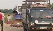 Xem xét xử lý hình sự vụ vận chuyển lợn bệnh đi tiêu thụ