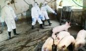 Bao lâu nữa mới có vaccine chống dịch tả lợn châu Phi?