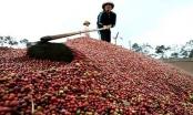 Cà phê Việt rớt giá thê thảm