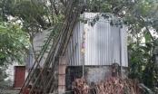 Cả làng quây tôn, dựng chốt bảo vệ cây sưa cổ 22 tỷ