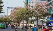 Đẹp nao lòng với hoa kèn hồng khoe sắc rực rỡ trên đường phố Sài Gòn