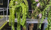 Vườn lan rừng khủng của 9X Quảng Nam, có 10.000 giò giả hạc
