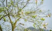Ngây ngất mùa Ban nở ở Điện Biên
