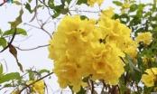 Hoa chuông vàng khoe sắc nơi phố núi Sơn La