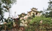 500 gốc gồng cổ bung nở, khoe sắc tại Hoàng Thành Thăng Long