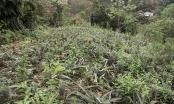 Lào Cai: Dứa chín đầy đồi, gà ngon đầy chuồng mà không có ai mua