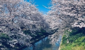 Mùa hoa anh đào đẹp nhưng buồn vì đại dịch COVID-19 ở Nhật Bản