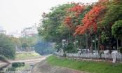 Phố phường Hà Nội rạo rực 'mùa phượng cháy'