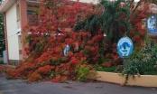 Lại thêm một cây phượng ở trường tiểu học ngã bật gốc sau mưa lớn