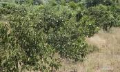 Không có điện bơm tưới, 200 ha cây đặc sản nguy cơ xoá sổ