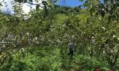 """Vì sao trái cây Sơn La đắt như tôm tươi, 5 năm không cần """"giải cứu""""?"""