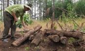 Lâm Đồng: Đang điều tra vụ phá rừng, chôn lấp số lượng lớn gỗ thông tại Tiểu khu 443