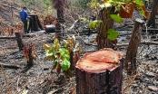 Cảnh báo hàng loạt dự án xin xén rừng tự nhiên