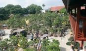 Xâm nhập vườn duối cổ trăm tuổi giá triệu đô của đại gia Hải Dương