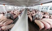 Giá lợn hơi hôm nay 3/1: Nhiều yếu tố đẩy giá lợn tăng cao?