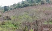 Sơn La lần đầu dán tem đào vườn dân trồng, phân biệt với đào rừng