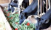 Lâm Đồng: Giá hoa rẻ hơn cỏ voi, chính quyền kêu gọi 'giải cứu' lay ơn
