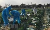 Chung tay 'giải cứu' nông sản trong đợt dịch COVID-19 ở Hải Dương