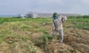Nghệ An: Rau ế ẩm, nông dân ứa nước mắt đổ bỏ