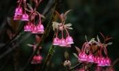 Đầu năm ngẩn ngơ với hoa đào chuông nở rộ trên đỉnh Bà Nà!