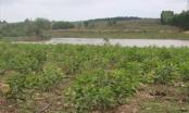 Dân ồ ạt chiếm đất bỏ hoang của Dự án nuôi bò Bình Hà để trồng keo