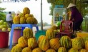 Ninh Bình: Thơm ngọt dưa bở vào mùa