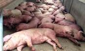 Hậu dịch tả lợn châu Phi: Không lo thiếu thịt lợn vào cuối năm