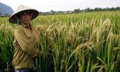 Gần 60 ha lúa ở Ninh Bình trắng bông bất thường sau một đêm