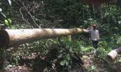 """Ly kỳ vụ phá rừng ở Bình Phước: Tiếp tục truy tìm 2 người đàn ông """"lái máy cày"""" và """"mua gỗ"""""""