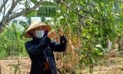 Bà Rịa - Vũng Tàu: Nông dân trồng Điều âu lo khi sản lượng giảm, giá thành thấp