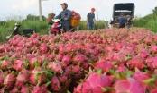 Thanh long tăng giá, nông dân an tâm sản xuất trở lại
