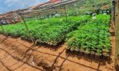 Đắk Nông: Bắt quả tang 2 nghi can trồng hơn 2.600 cây cần sa