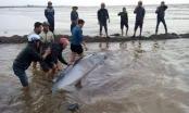 Giải cứu cá voi 3 tấn bị mắc cạn ở biển Nam Định