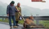 Điện Biên: Hàng trăm con trâu, bò bị chết rét