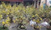 Quảng Bình: Hoa Tết tràn ngập khắp TP Đồng Hới