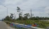 Đại lộ Thăng Long: Hàng trăm cây gỗ lát hoa ngã dúi dụi không ai trồng lại