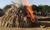 Tiêu hủy 2 tấn ngà voi, 70kg sừng tê giác tại Sóc Sơn, Hà Nội