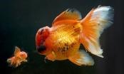Cá vàng lớn nhất nước Anh có giá đắt như vàng