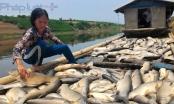 14 tấn cá lồng chết trên sông Bưởi chưa rõ nguyên nhân