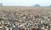 Hàng trăm tấn ngao chết trắng, người dân Hậu Lộc khóc vì trắng tay