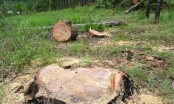 Lâm Đồng: Lâm tặc ngang nhiên triệt hạ hàng chục cây thông cổ thụ