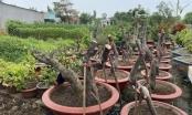 Bắt đối tượng cưa trộm hàng loạt cây cảnh tại TP Vũng tàu