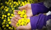 Chiêm ngưỡng cánh đồng dược liệu đẹp mê hồn ở Hưng Yên