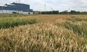 Bắc Giang: Công ty Thạch Bàn đốt lò làm chết lúa phải bồi thường cho dân